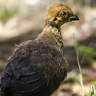 Baby bush turkey in the front yard by Doug Cliff