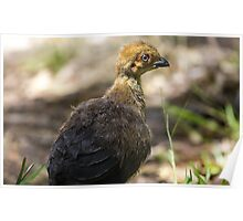 Baby bush turkey in the front yard Poster