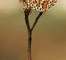 Lesser Spotted Fritillary (Melitaea trivia) Butterfly by PhotoStock-Isra