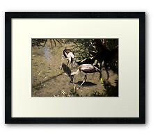 Foraging inShallows Framed Print