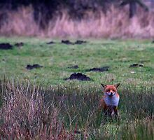 Fox at rest by Violaman