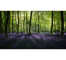 Evening Bluebells Photographic Print