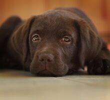 Resting Labrador Puppy  by Photokes