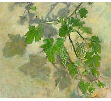Grape vine with leaves and clusters of grapes Photographic Print