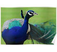 Jaipur Peacock Poster