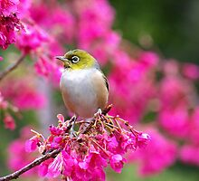 Silver Eye........Do I look good in pink ?...........! by Roy  Massicks