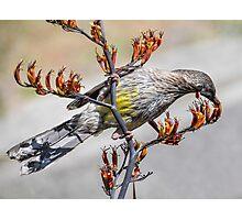 Australian Red Wattle Bird Photographic Print