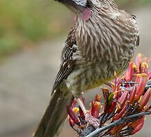Australian Red Wattle Bird by Graeme Bayley