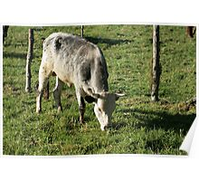 Bull Grazing in a Farmers Pasture Poster
