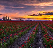 Skagit Valley Tulip Sunset by mikereid