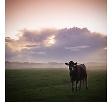 A Bovine Sunset Photographic Print