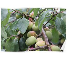 Fruit tree on a Rainy day Poster