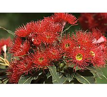 flower-eucalyptus-red-flora Photographic Print