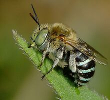 Blue Banded Bee - Australian Native Bee by Gabrielle  Lees