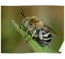Blue Banded Bee - Australian Native Bee Poster