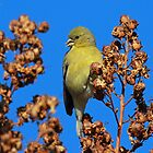 A Female Lesser Goldfinch by jozi1