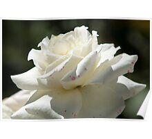 White Rose in a Garden Poster