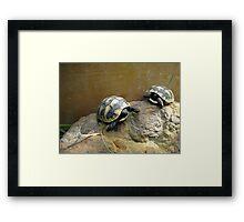 Baby Eastern Hermann's Tortoise  Framed Print