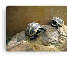 Baby Eastern Hermann's Tortoise  Canvas Print