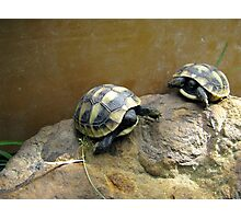 Baby Eastern Hermann's Tortoise  Photographic Print