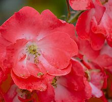 Raindrops on Roses, and Other Red Flowers by emaginary01