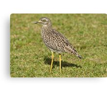 Spotted Thick-knee Canvas Print