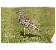 Spotted Thick-knee Poster