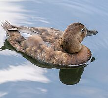 duck reflection by mjamil81