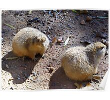 Two Prairie Dogs Sunning Poster