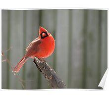 Virginian Cardinal Poster