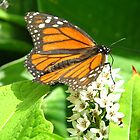 Monarch delivery by MarianBendeth