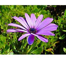 Purple African Daisy  Photographic Print