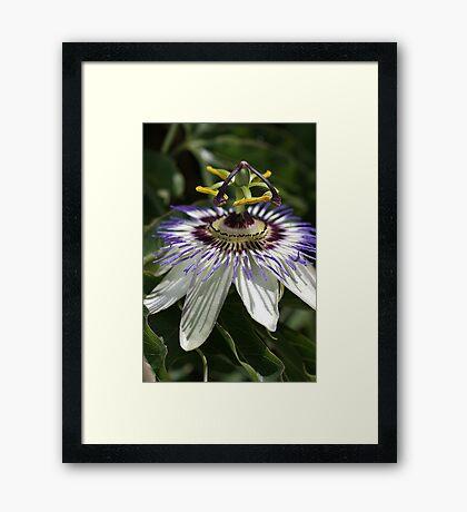 flower-Passionfruit  Framed Print