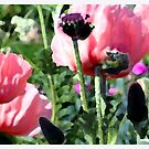 Pink Poppies by Claire McCall