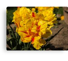 Showy Sunny Yellow Tulips Canvas Print