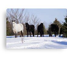 Windsor, Nova Scotia, Wild Horses Canvas Print