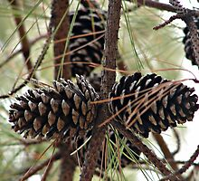 PineCones by PicsbyJody