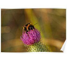 Bumblebee (Bombus Terrestris) Poster