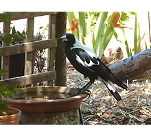 The Magpies know where to keep cool this Hot weather. 'Arilka' Photographic Print