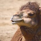 Dromedary Camel by Galind