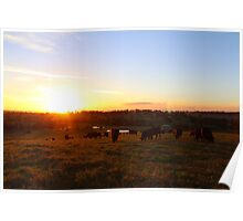 Cows at Sunset Poster