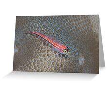Striped Triplefin Greeting Card