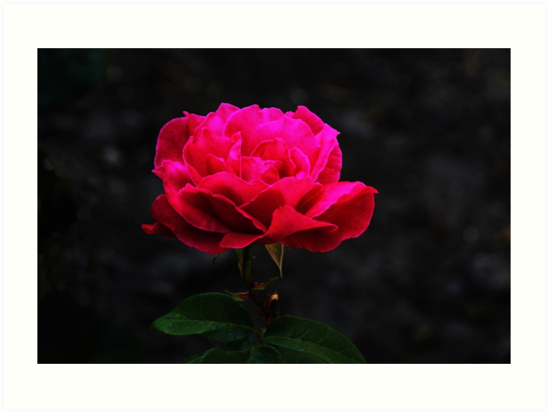 My Love is Like a Rose by hummingbirds