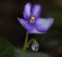 African Violet. by Elisabeth Thorn