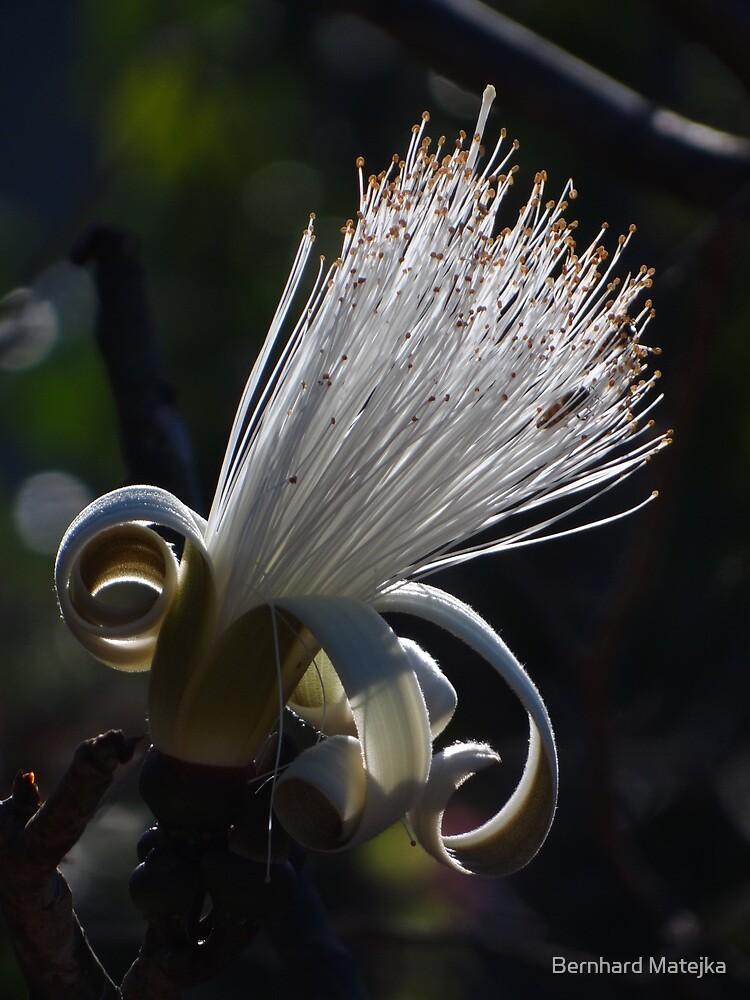 flower in back light - flor en contraluz by Bernhard Matejka