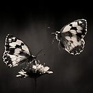 Marbled Whites by jimmy hoffman