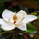 Southern Magnolia Blossom by Kenneth Keifer