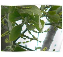 Mistletoe With Blooms Poster