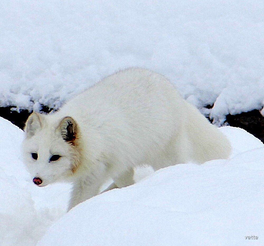 A close up image of an Arctic Fox by vette