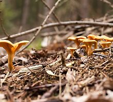 Chanterelles in the wood by LacoHubaty